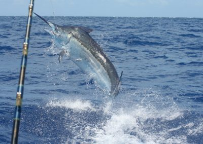 Black Marlin on the Great Barrier Reef